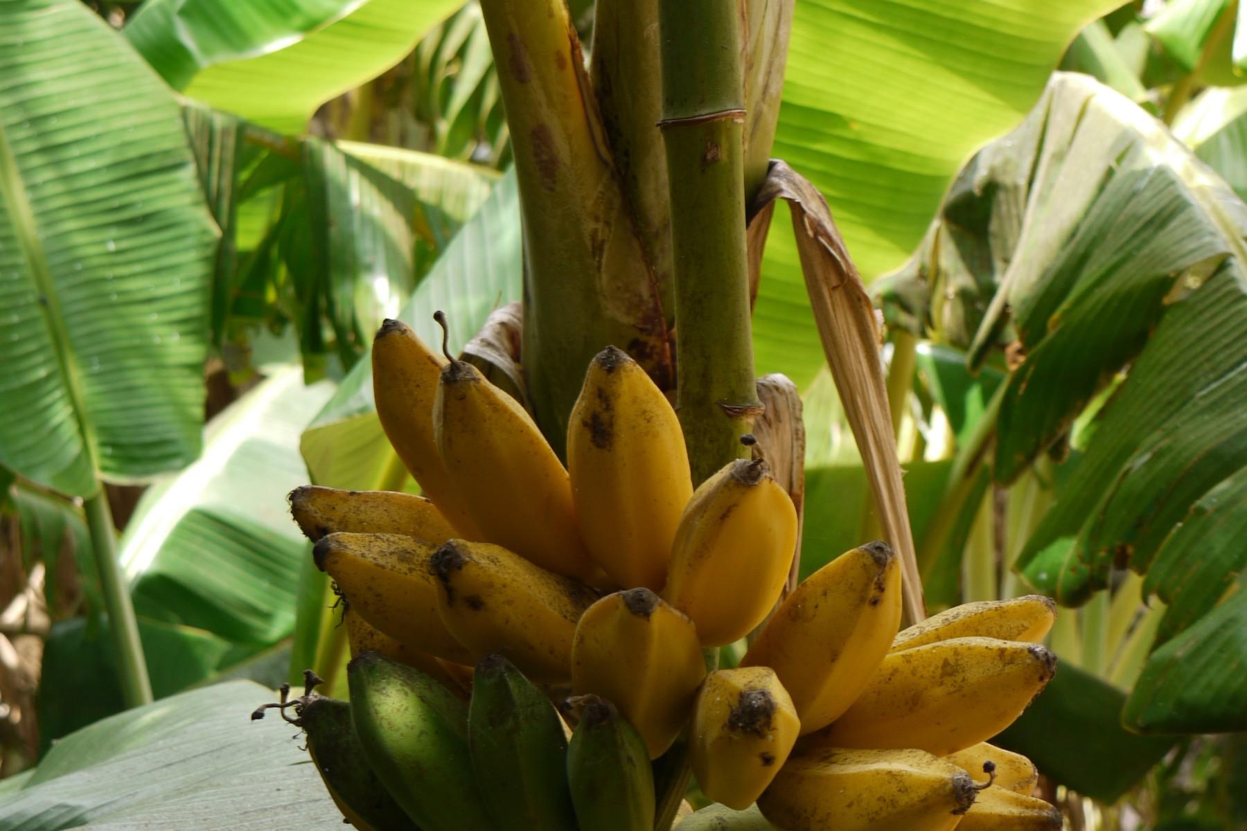 Bananenpflanze (c) Peace656